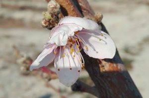 Floracion extratemprana